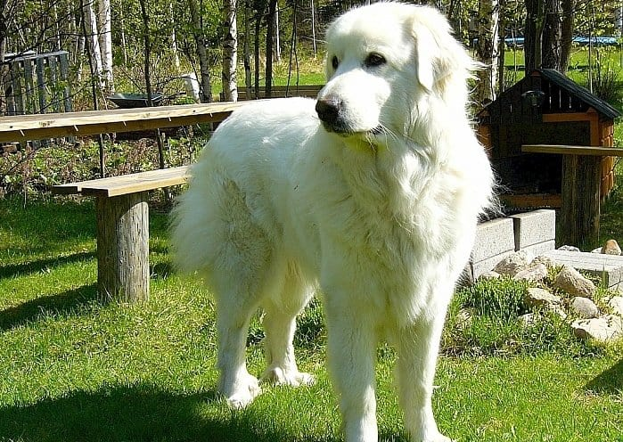 best large dogs for apartments 4