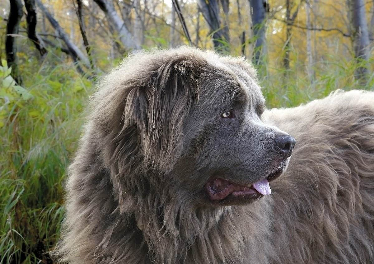 10 Best ExtraLarge Dog Breeds Huge Dogs Who Love Their Humans