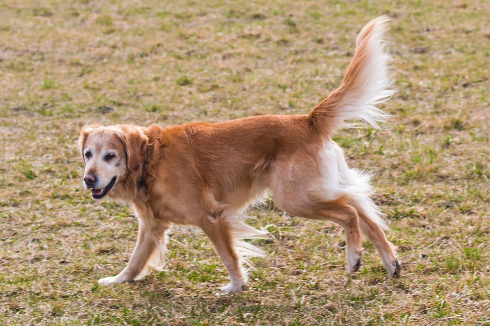 Big Dogs That Don't Shed (13 Large Non Shedding Dog Breeds)