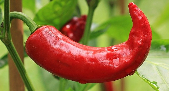 Can Dogs Eat Chilli Peppers