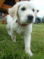 Puppy dog training classes available