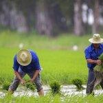 Delta del Ebro cosecha arroz