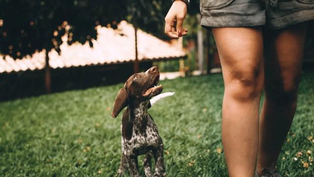 Dog walking off leash beside a woman