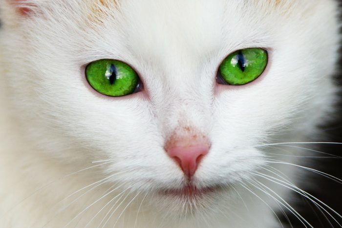 Causes Of Cat Eye Infections