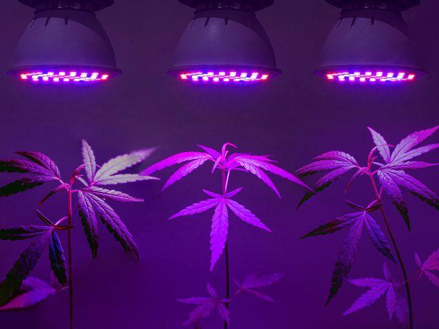 canna wiki.de Cannabis unter LED beleuchtung - Cannabis Anbau