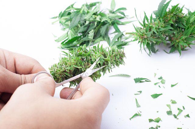 canna wiki.de cannabis Blüte wird mit Schere beschnitten - Cannabis Anbau