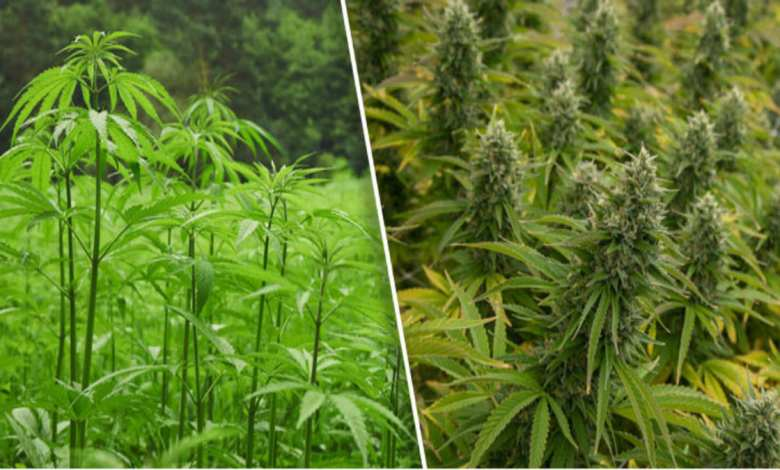 différence entre cannabis et chanvre