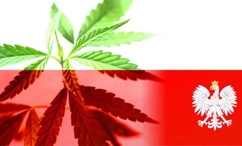 drapeau pologne fleur de cannabis en fond