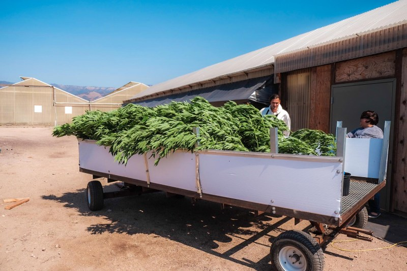 Cannabis Pflanzen Transport