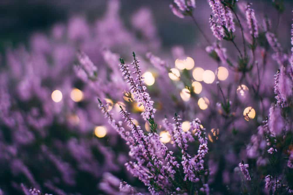 Linalool Lavendel Cannabis Terpene Aroma Wirkstoffe