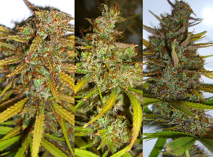 Over Ripe Cannabis Buds Past Their Peak Potency And