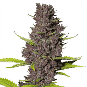 Blue Dream Cannabis Seeds USA