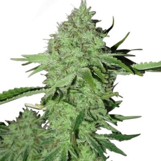 Crystal Marijuana Seeds USA