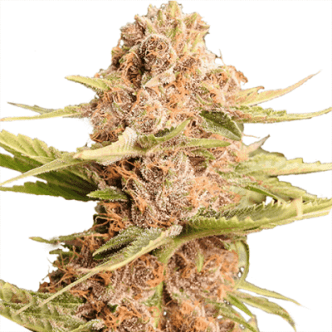 Girl Scout Cookies Seeds USA