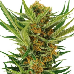 Jack Herer Feminized Cannabis Seeds | Cannabis Seeds Australia