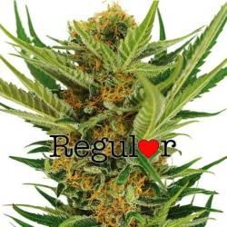 Jack Herer Regular Seeds