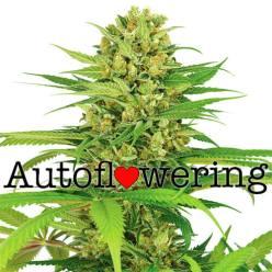 Bubblegum Autoflowering Seeds | Cannabis Seeds Australia