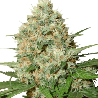 Candy Kush Seeds
