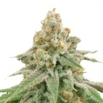 Wedding Cake Cannabis Seeds