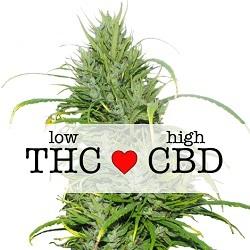Carmagnola CBD Medical Cannabis Seeds