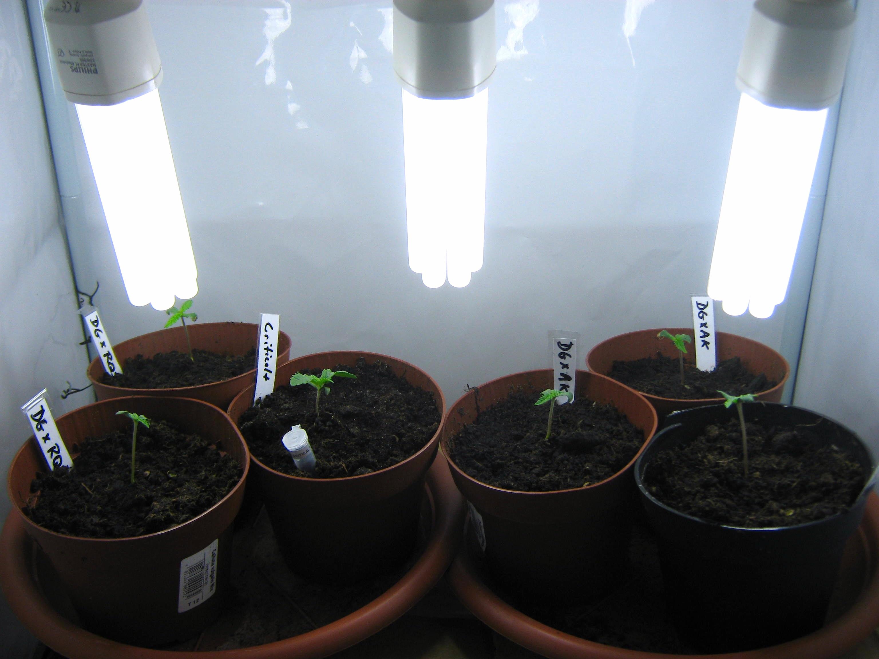 100 Watt CFL Grow  Update4 What Should My Marijuana