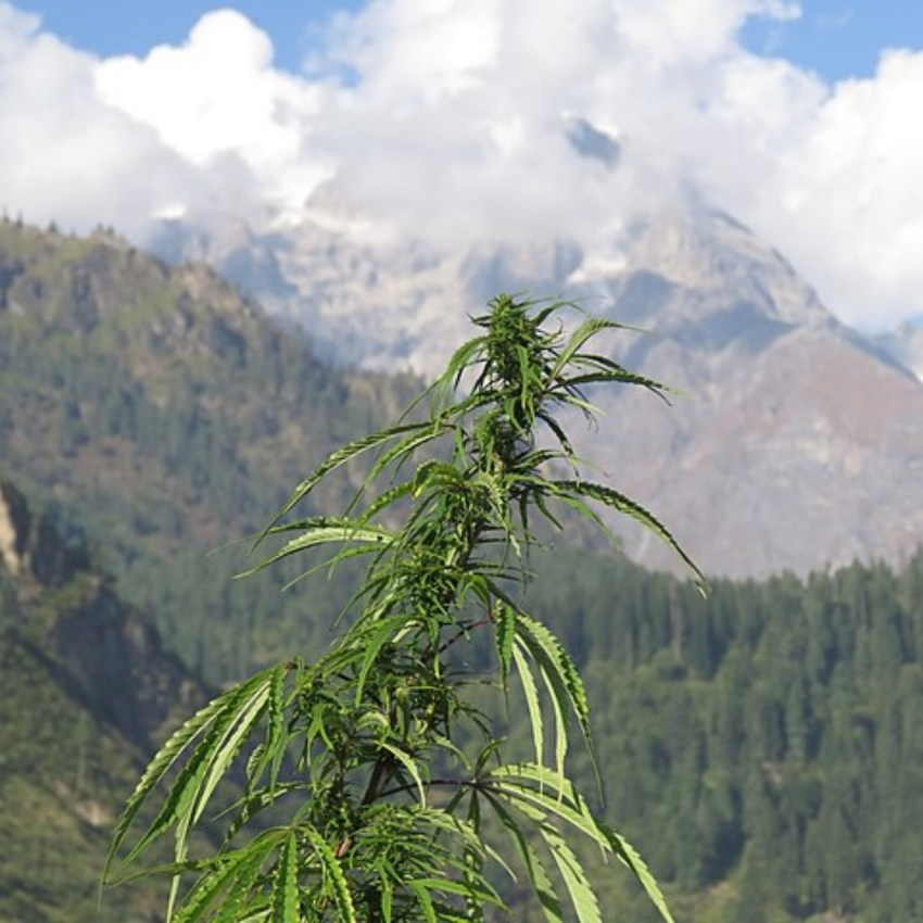 cannabis information institute, cannabis info websites, cannabis information, landrace cannabis, the oldest cannabis strains, cannabis strain history, landrace strains map north american landrace strains, rare landrace strains, best landrace sativa strains, all landrace strains, landrace strains canada, landrace indica, landrace strain definition, what is a landrace marijuana strain, landrace weed strains, cananbis information, cannabis information institute, cannabis history, history of cannabis strains