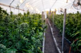 Cannabis producer Agrima Botanicals' licence revoked by Health Canada