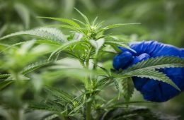 Alberta removing tax exemption for commercial cannabis producers