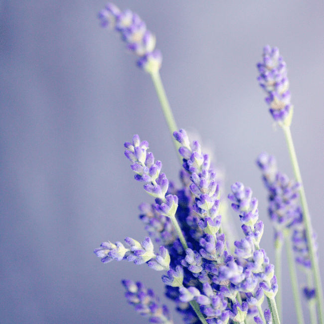 Lavender a sleep-aiding herb that can be combined with cannabis
