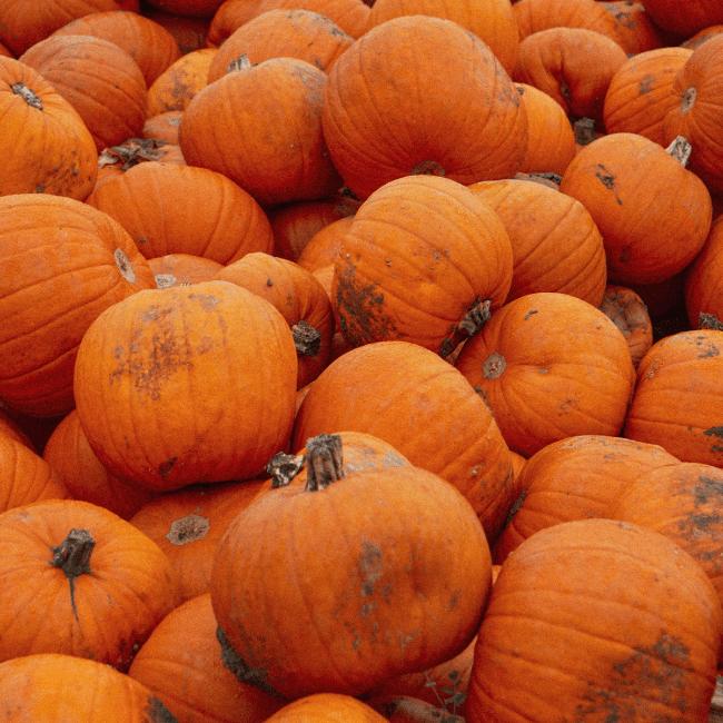 Maan Farms Pumpkin Patch and Corn Maze