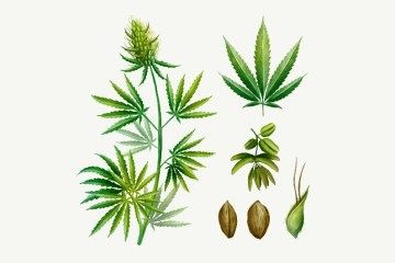 how to tell male from female cannabis plant