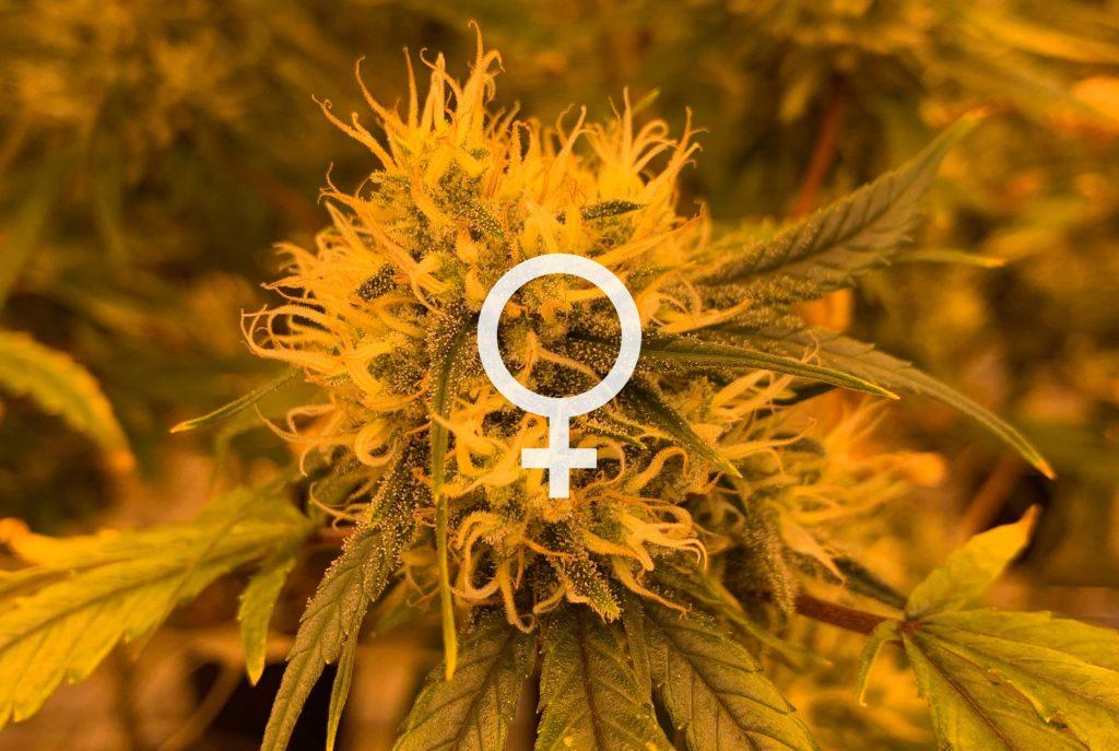 female cannabis plants