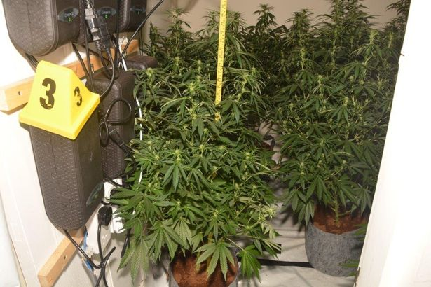 Cannabis plants found in a property in North Ormesby