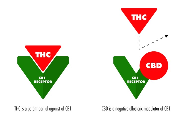 As a potent partial agonist of CB1, THC is able to bind to and stimulate the receptor. As a negative of allosteric modulator of CB1, CBD indirectly alters the shape of the CB1 receptor.