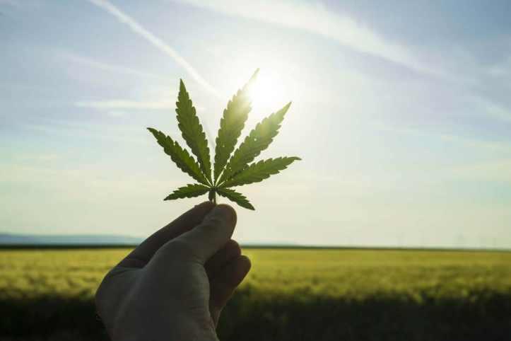 cannabis0107a