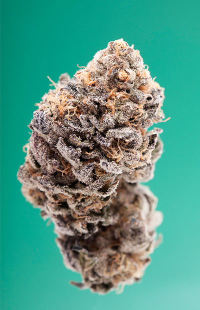 A close-up photograph of a nug of the real Girl Scout Cookies by breeder Jigga, all against a green background.