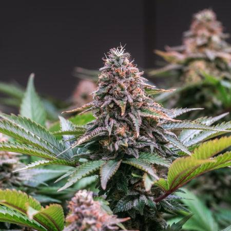 Cannabis Vermont Featured