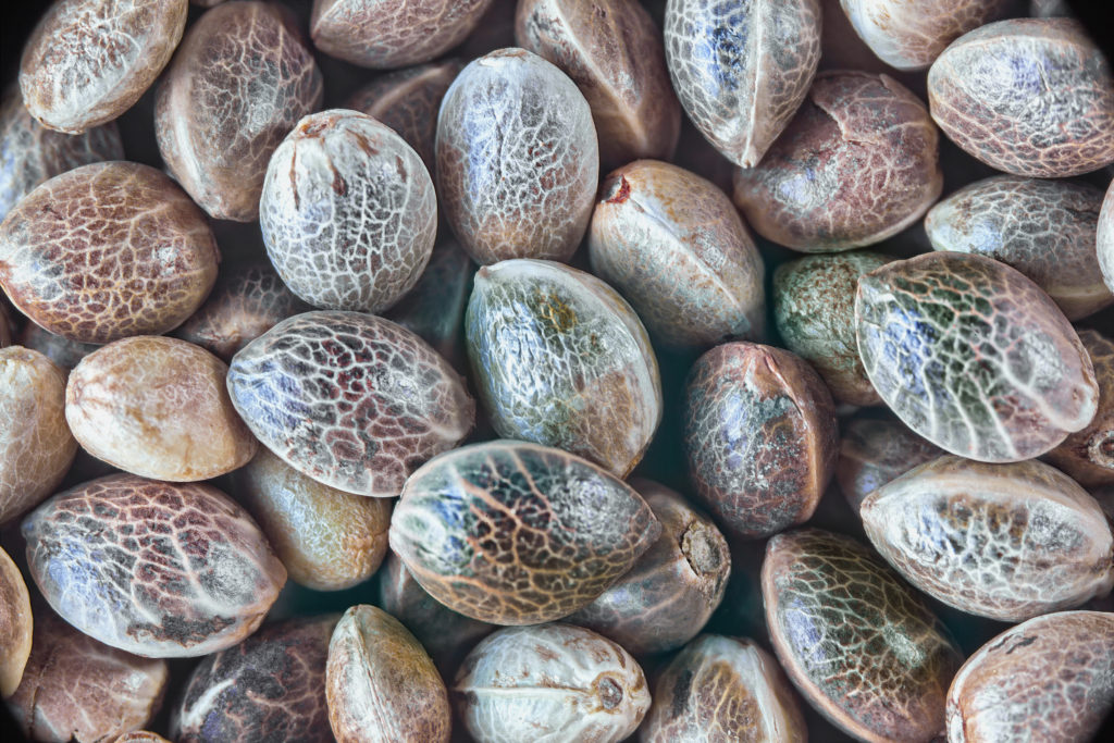 Growing CBD - Seed Selection