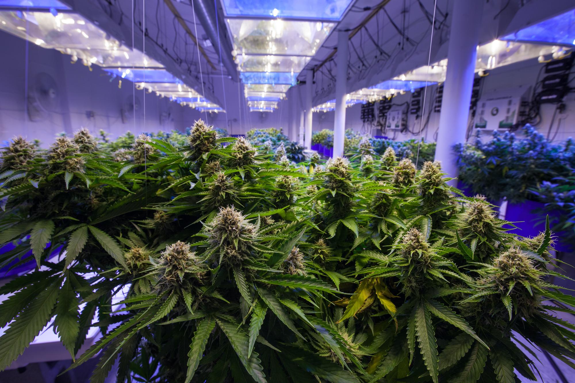 Cannabinoid Revolution