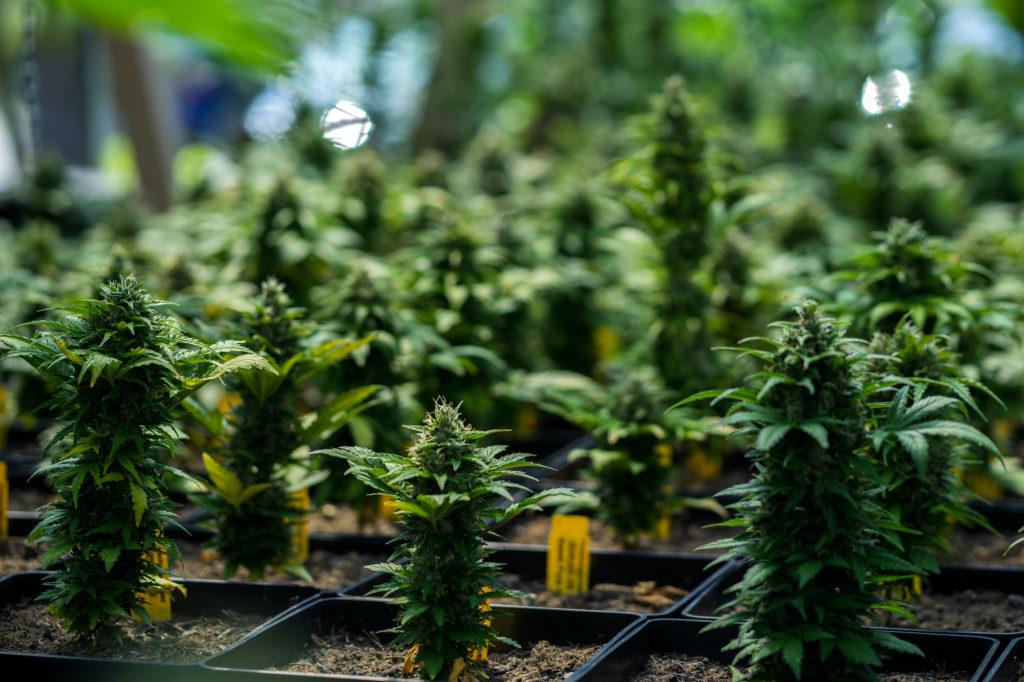 cultivation cannabis revolution