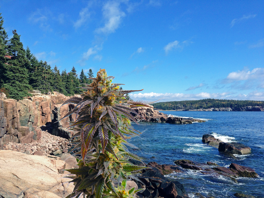 So, Is It Legal To Grow CBD Hemp Flower In Maine