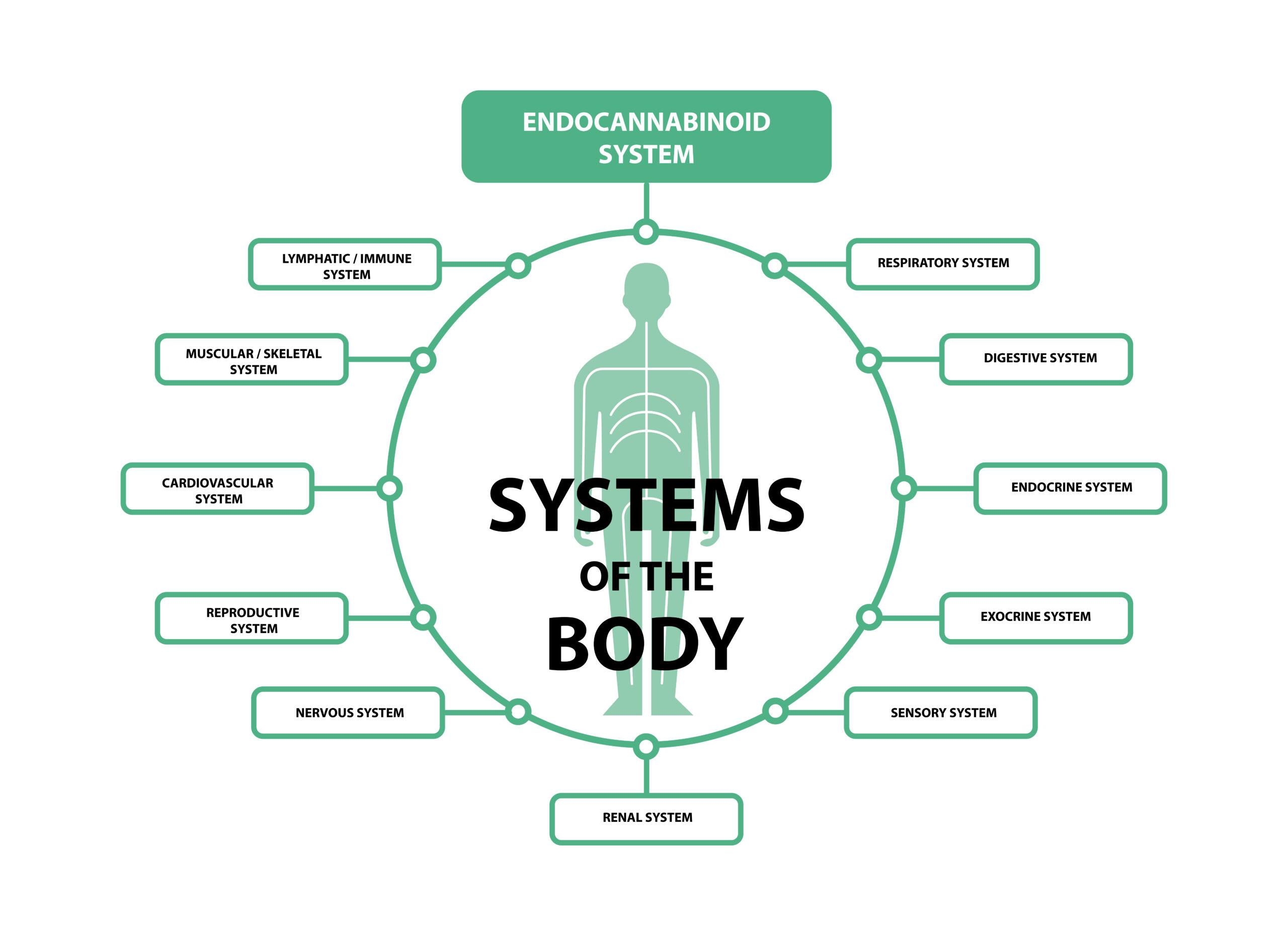 CannaGlobe endocannabinoid system