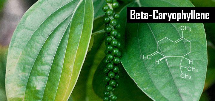 CannaGlobe Key Cannabis Terpenes Beta-Caryophyllene