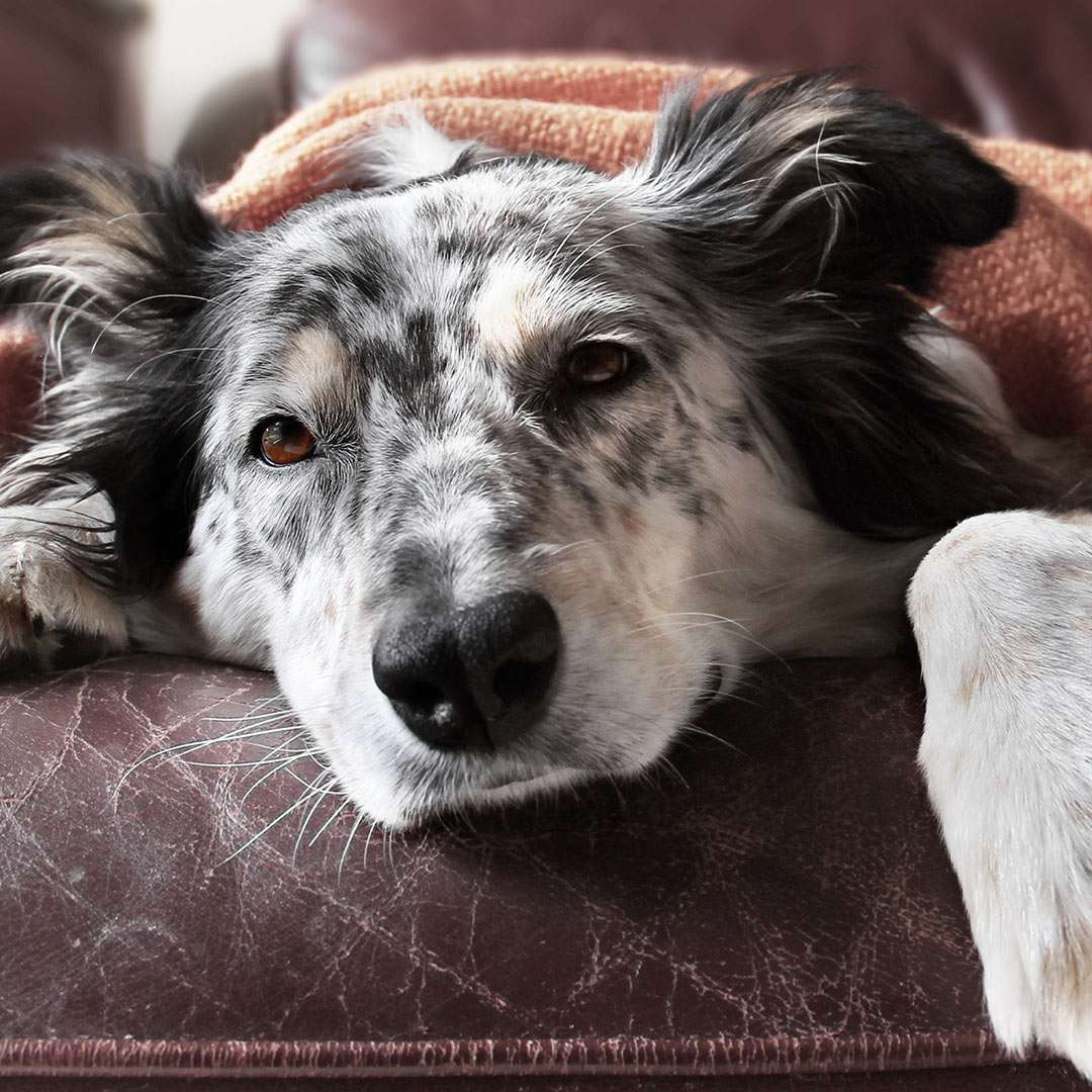 Dog sleeping on a couch under a blanket.