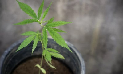 Hemp plant grows in a planter