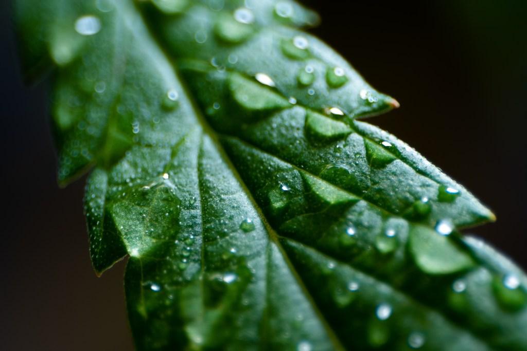 rain on cannabis leaf