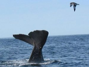 Sperm Whale photo from Whalewatch tour boat.