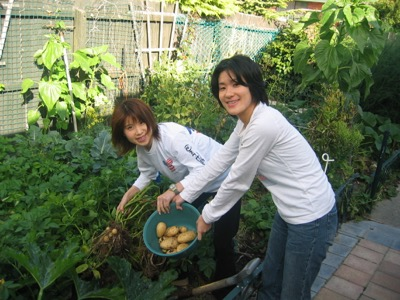 New Potatoes harvesting on the Christchurch Orgainc Garden tour