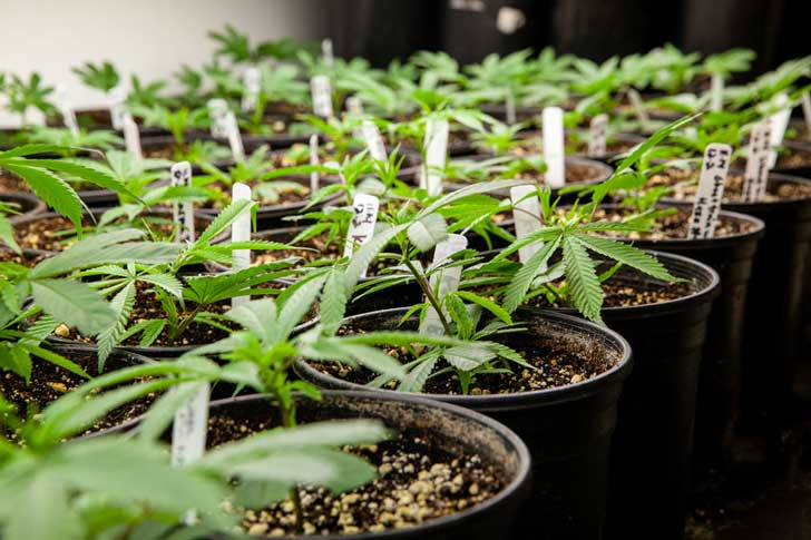 Young cannabis plants.