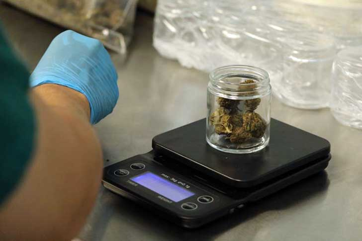Weighing cannabis in a lab